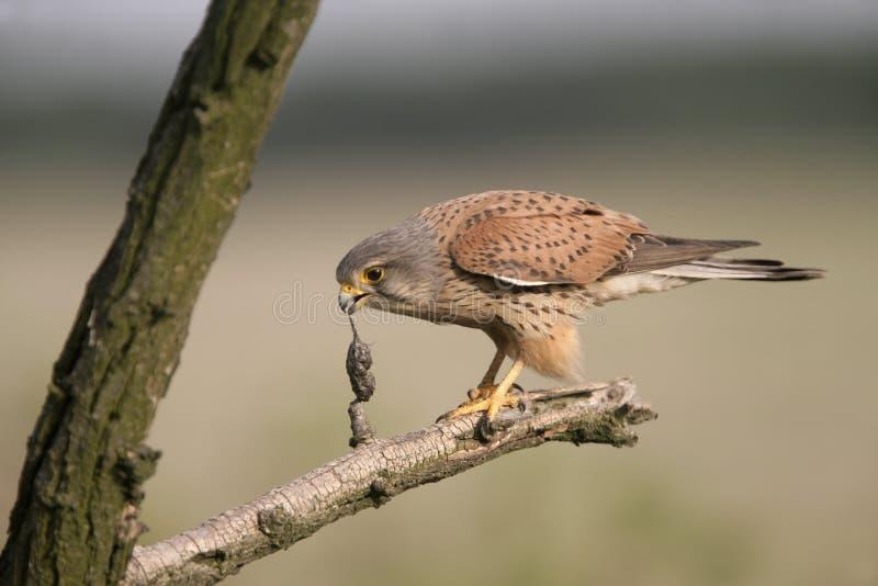 Kestrel, Falco tinnunculus. Single male on branch regurgitating pellet, Hungary stock images