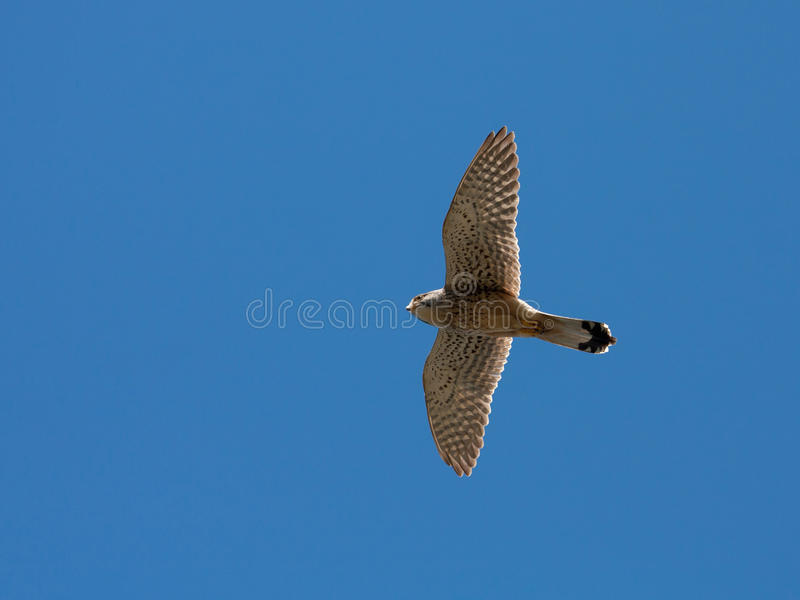 Download Kestrel familiy stock image. Image of bird, isle, rhoscolyn - 14853247