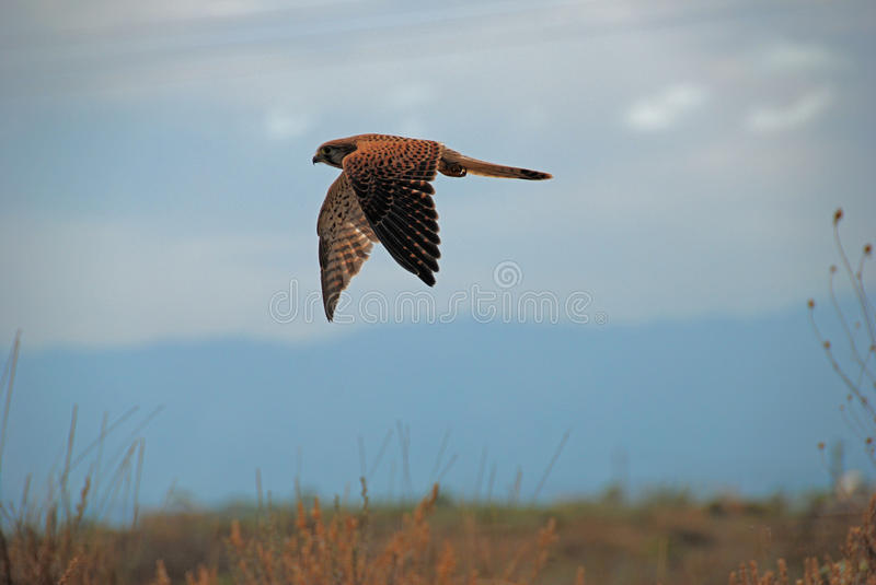 Kestrel in Flight. Female kestrel in flight in Spain royalty free stock image