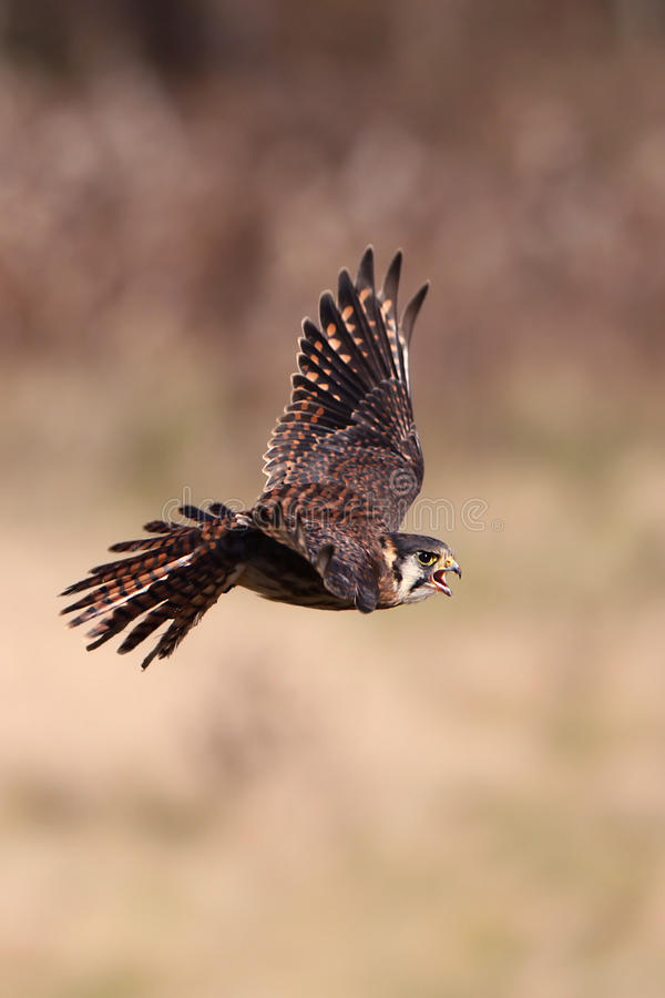 Kestrel In Flight. Closeup of an American Kestrel in flight royalty free stock photos