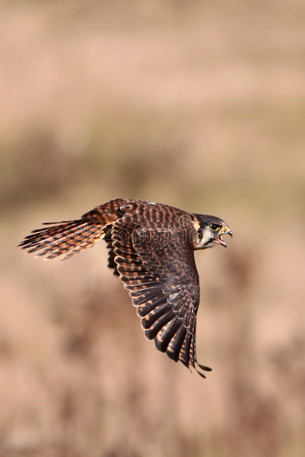 Kestrel In Flight. Closeup of an American Kestrel in flight stock photography