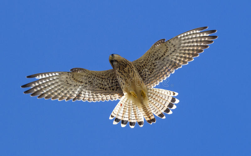 Kestrel. In flight with a blue sky royalty free stock images