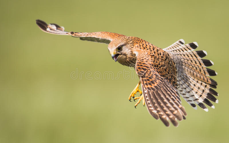 Kestrel in flight. Female Kestrel ( Falco tinnunculus ) bird of prey in flight over English wheat field royalty free stock image