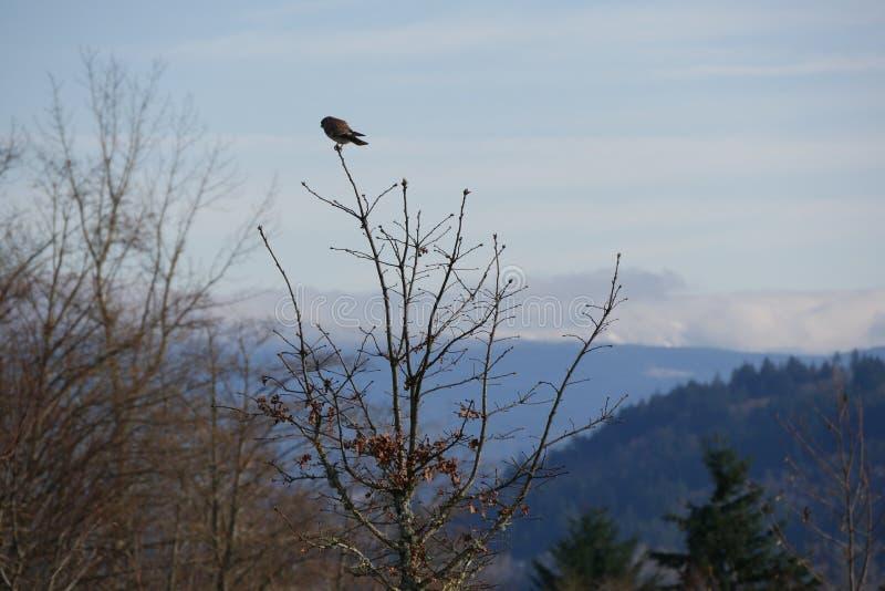 Download Kestrel Hawk in Oregon stock image. Image of blue, thorns - 83714499