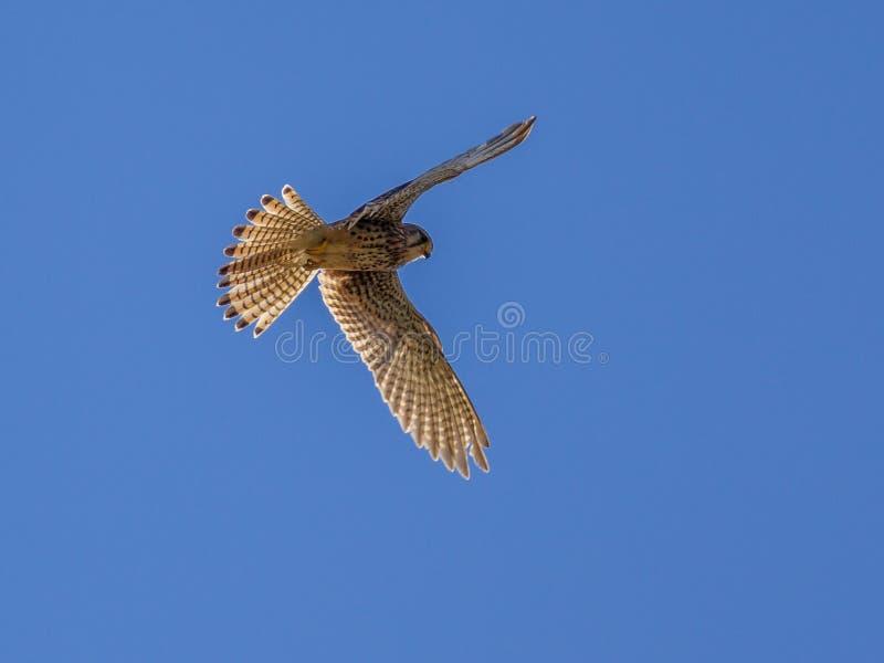 Kestrel hovering in the air. Kestrel (Falco tinnunculus) hovering in the air and looking for prey royalty free stock photos