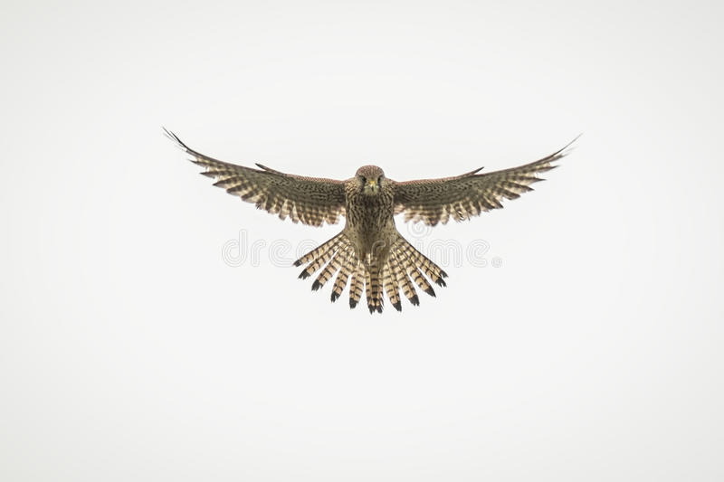 Kestrel hovering royalty free stock photo
