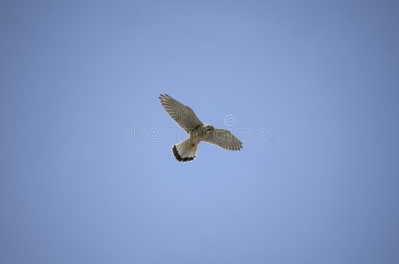 A kestrel is hovering royalty free stock images
