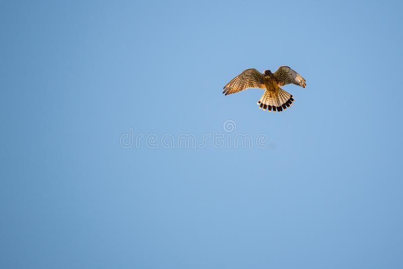 Kestrel hovering in the sky above a field on a blue sky royalty free stock photography