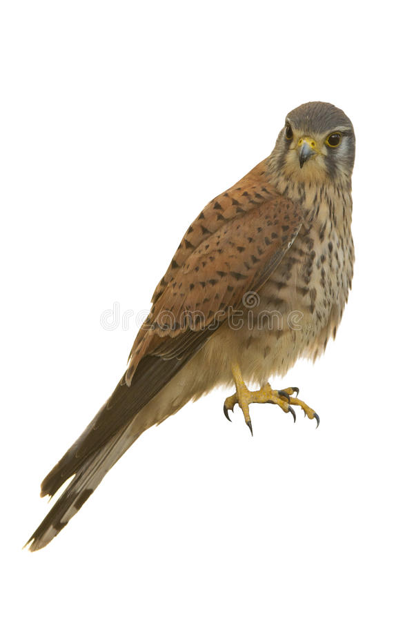 Kestrel isolated. On white looks in a side royalty free stock images