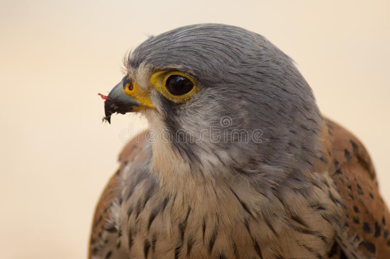 Kestrel Male. Portrait shot for Kestrel Male was eating a rat, he was close to me stock images