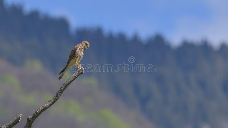 Kestrel odpoczywa na wierzchołku obserwuje myszy w wsi gałąź zdjęcie stock