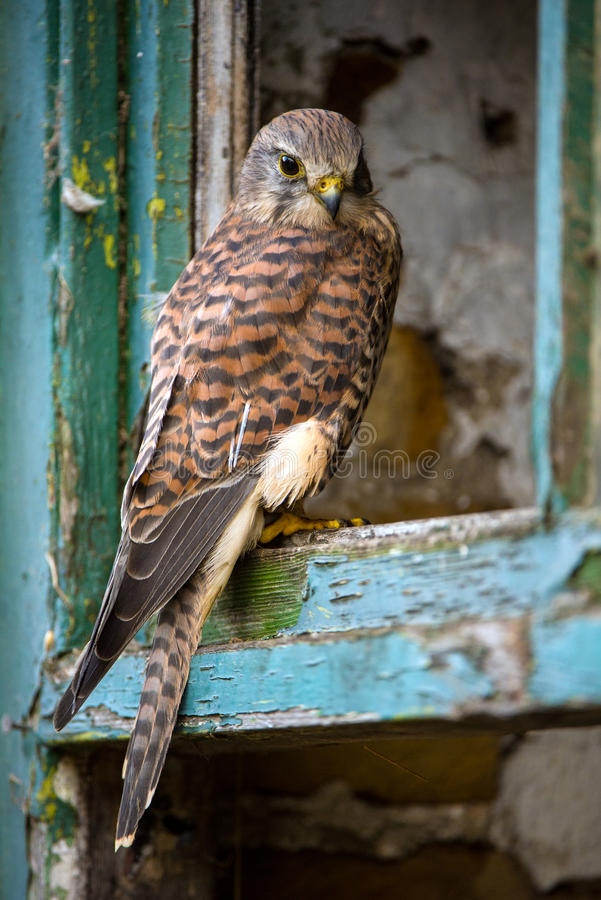 Kestrel. Perched in the window frame of an old farmhouse stock photos