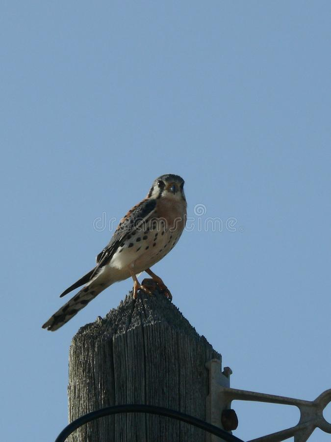 Kestrel snake of Guadeloupe. Posed on a pole in the city of Mold royalty free stock photos