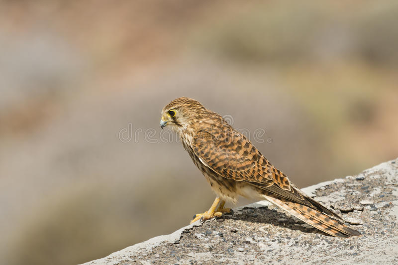 Kestrel In Tenerife, Spain. A Common Kestrel on a wall in Tenerife, Spain with selective focus stock image