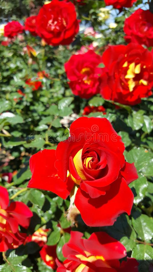 Download Ketchup And Mustard Red With Yellow Floribunda Rose Stock Image