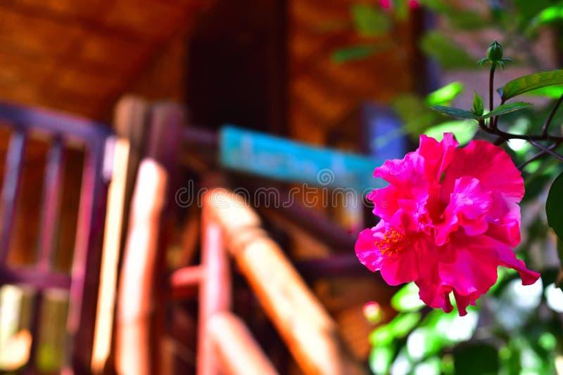Ketmie colorée rosâtre images libres de droits