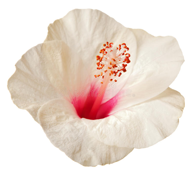 ketmie de fleur photographie stock libre de droits