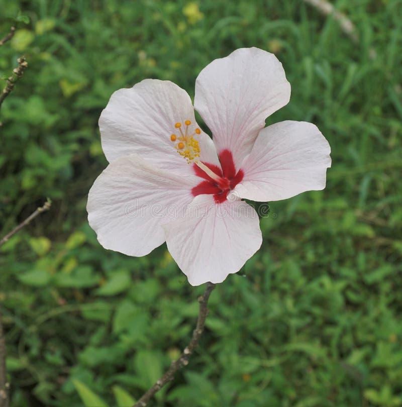 Ketmie de fleur rose et rouge dans Bali Indonésie photographie stock libre de droits