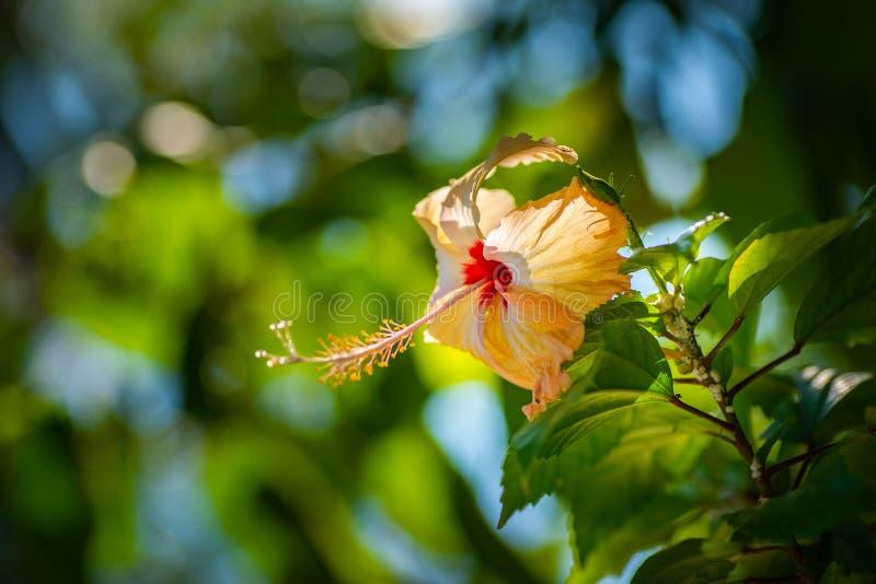 Ketmie de floraison dans naturellement la scène, fleurs exotiques images libres de droits