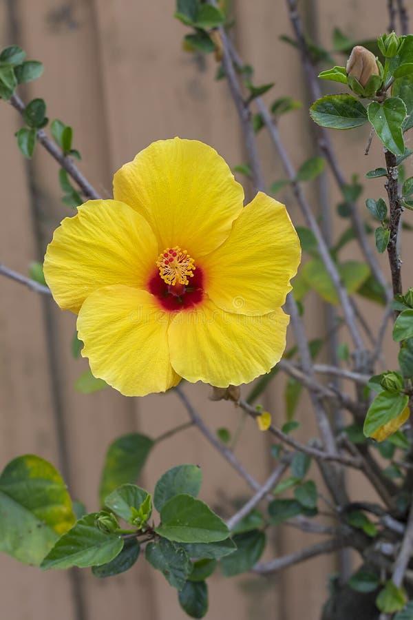 Ketmie jaune de tequila en pleine floraison image stock