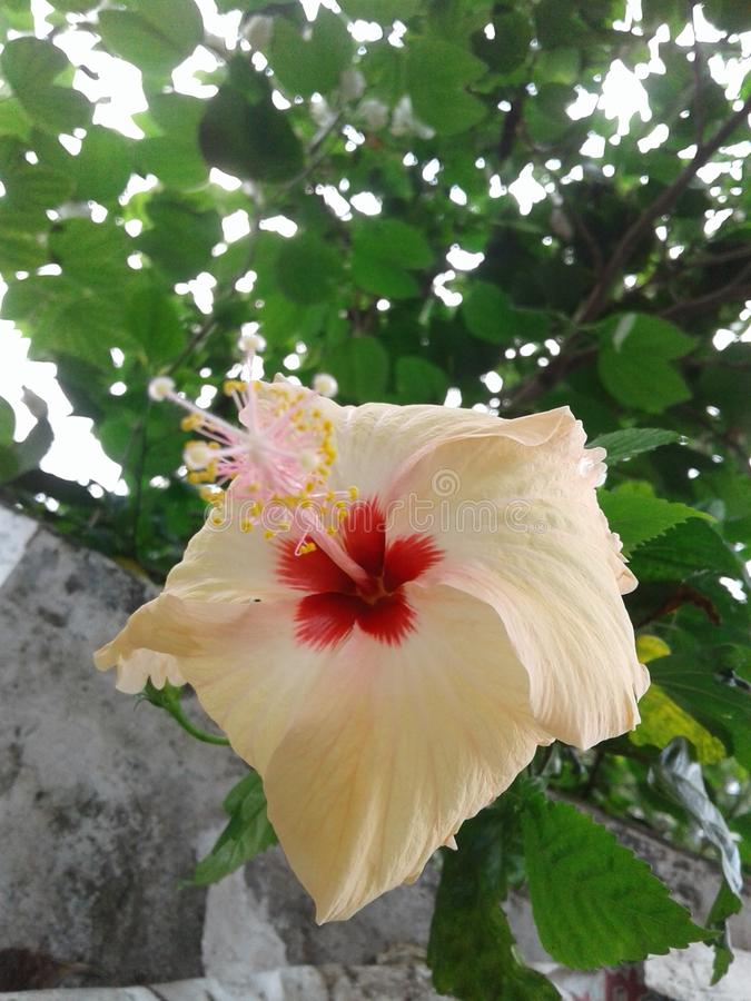 Ketmie rosa-sinensis image stock
