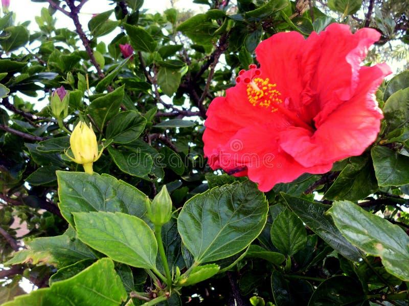Ketmie rouge de fleur images stock