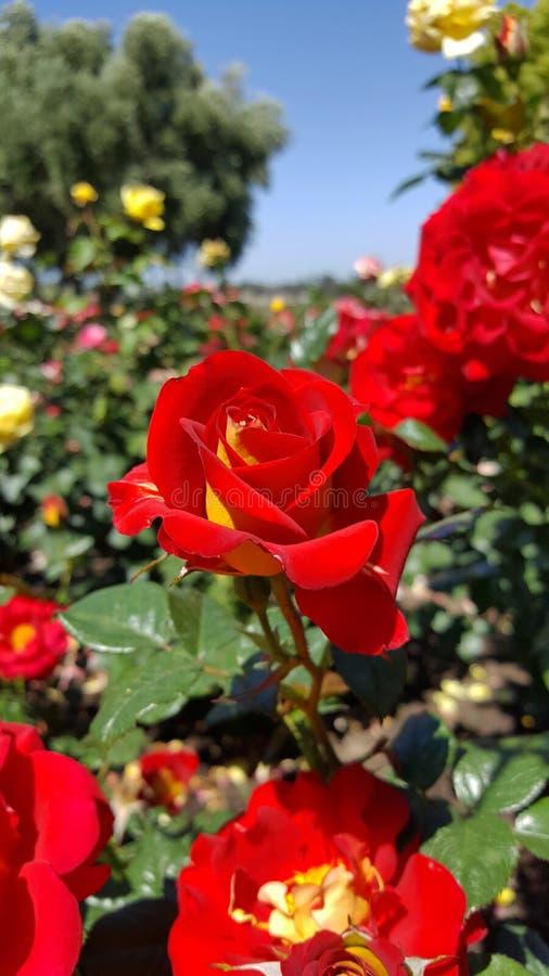 Ketschup-und Senf-Rot mit gelbem Floribunda Rose stockfoto
