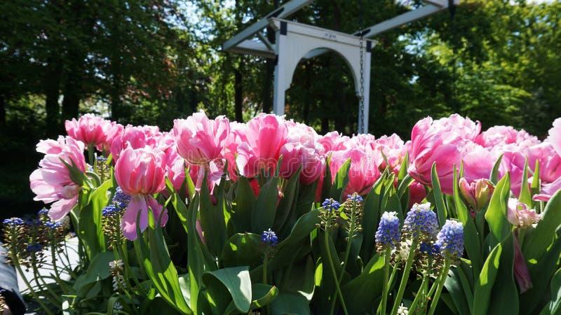 keukenhof, Нидерланд, Голландия; 11/05/2019: Оглушать ландшафт весны, известный сад Keukenhof с красочными свежими тюльпанами, стоковое изображение