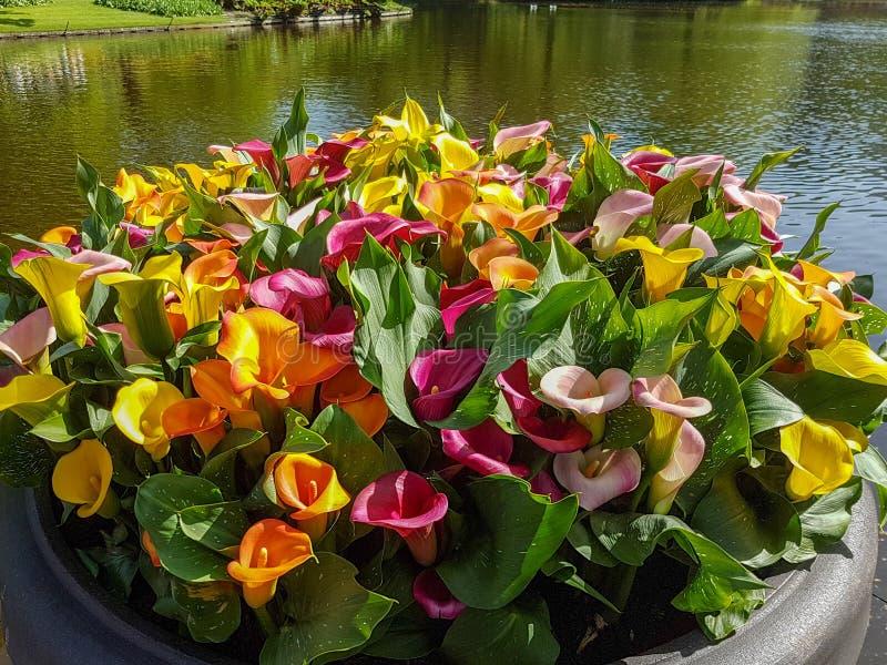 Keukenhof-Calla lilly stockbild