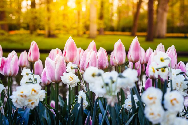 Keukenhof Gardens full of flowers, Netherlands royalty free stock images