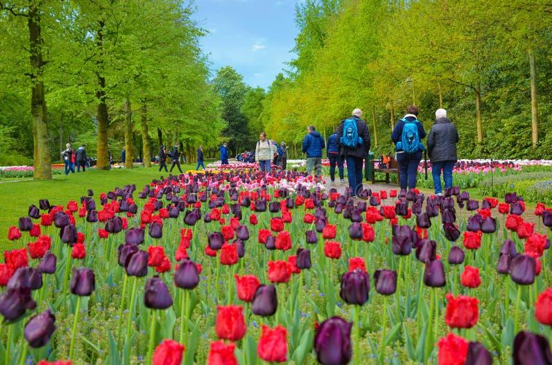 Keukenhof, Lisse, Países Baixos - 28 de abril de 2019: Tulipas roxas vermelhas e escuras bonitas em jardins holandeses famosos de imagens de stock