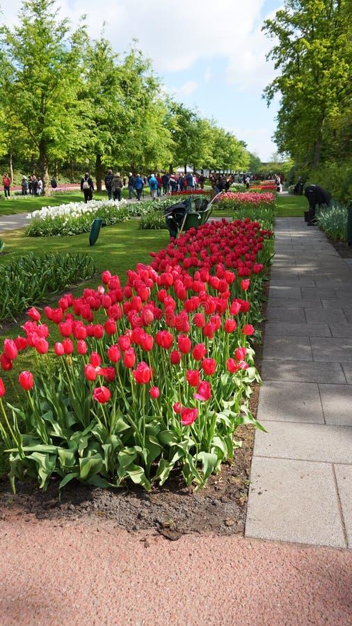 Keukenhof, Nederland, Holland; 11/05/2019: Overweldigend de lentelandschap, beroemde Keukenhof-tuin met kleurrijke verse tulpen, stock afbeelding