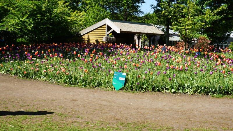 keukenhof, Nederland, Holland; 11/05/2019: Overweldigend de lentelandschap, beroemde Keukenhof-tuin met kleurrijke verse tulpen, stock afbeeldingen