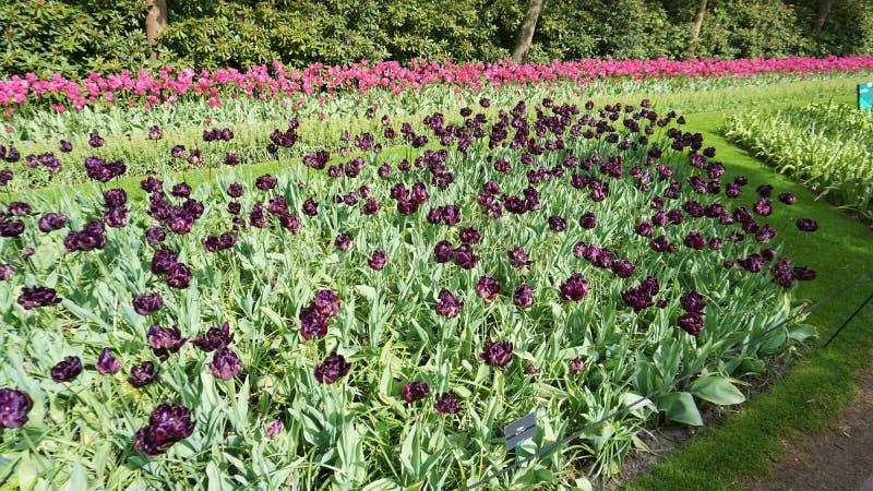 Keukenhof,netherlands,holland;11/05/2019: Stunning spring landscape, famous Keukenhof garden with colorful fresh tulips, stock image