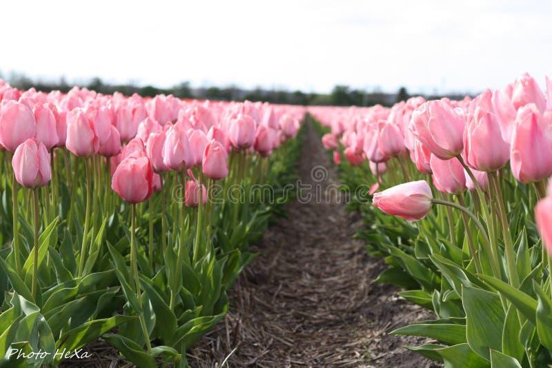 Keukenhof Tulip Gardens imagen de archivo libre de regalías