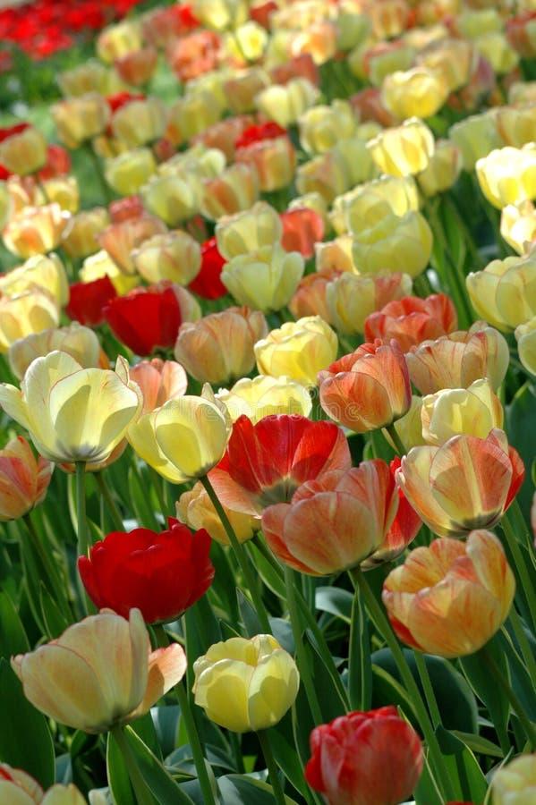 keukenhof tulipany obraz royalty free