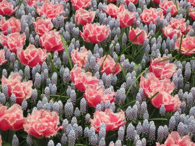 Keukenhof tulps royalty-vrije stock afbeelding