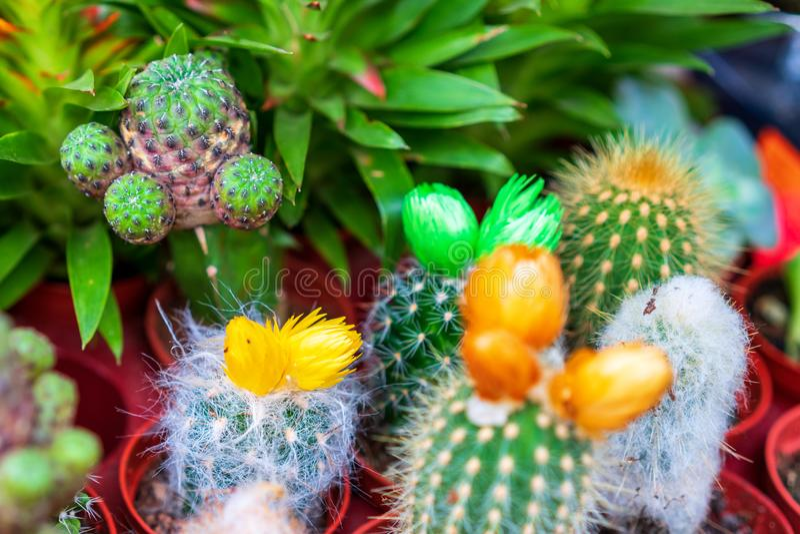 Keurige kleine cactussen, bloemen, sier tropische installaties stock afbeelding