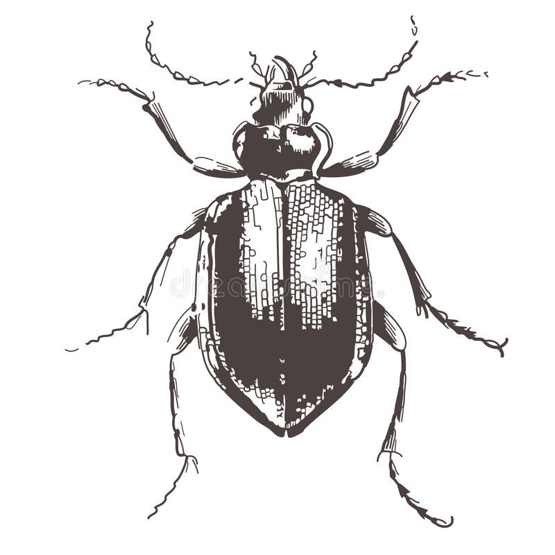 Kevers - wijnoogst gegraveerde illustratie stock illustratie