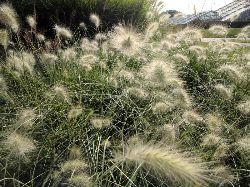 Kew Garden grasses. Pennisetum grasses fountain grass blowing in the wind at Kew Gardens royalty free stock images
