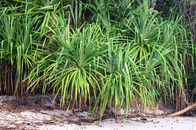 Kewda avec de longues feuilles épineuses - pin de vis - Pandanus Odorifer - usine et verdure côtières photographie stock libre de droits