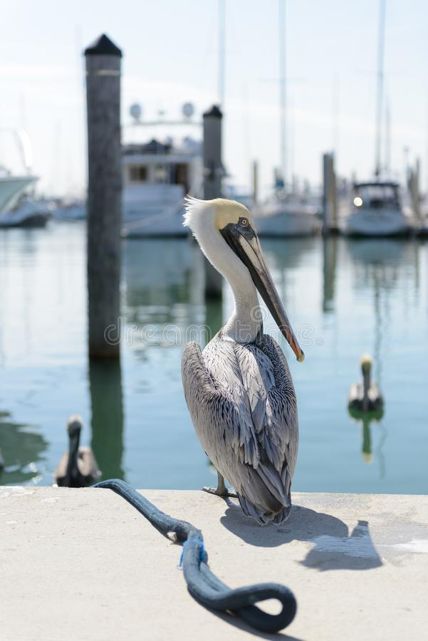 Key Biscayne Pelican fotografia de stock
