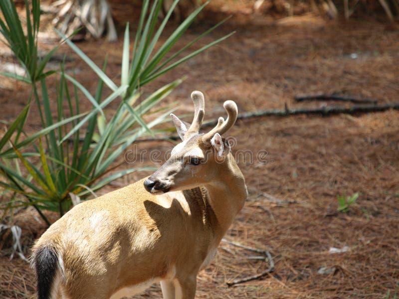 Key dear buck head turned stock images