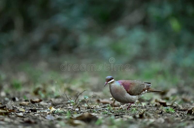 Key West Quail-dove (Geotrygon chrysia) adult stock image