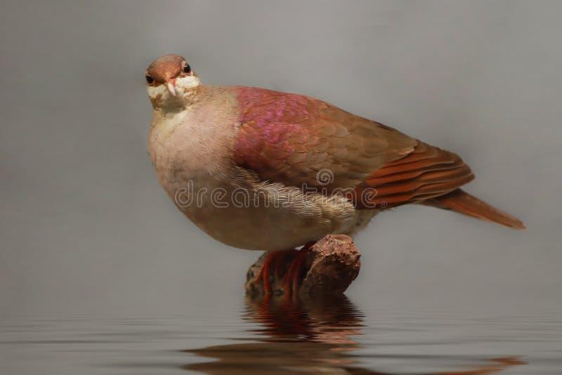 Key West Quail Dove images stock
