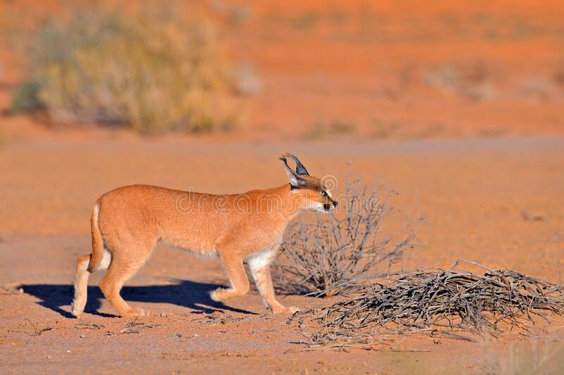 Kgalagadi Caracal, African lynx, in red sand desert. Beautiful wild cat in nature habitat, Kgalagadi, Botswana, South Africa. royalty free stock images