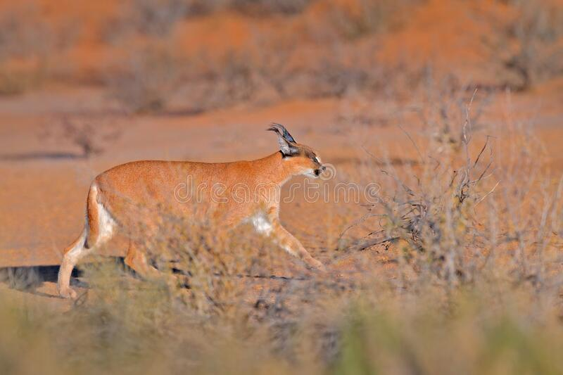 Kgalagadi Caracal, African lynx, in red sand desert. Beautiful wild cat in nature habitat, Kgalagadi, Botswana, South Africa. stock photography