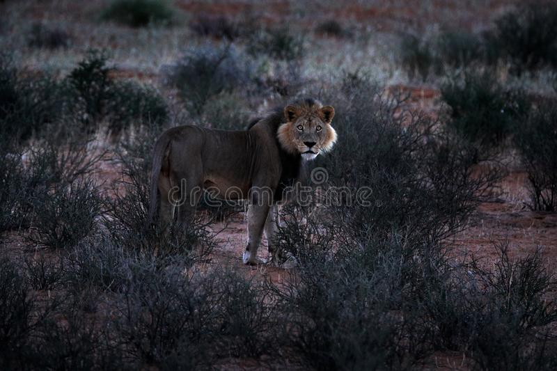Kgalagadi lion in dark morning, Botswana. Lion with black mane, big animal in the habitat. Face portrait of African dangerous cat stock photos