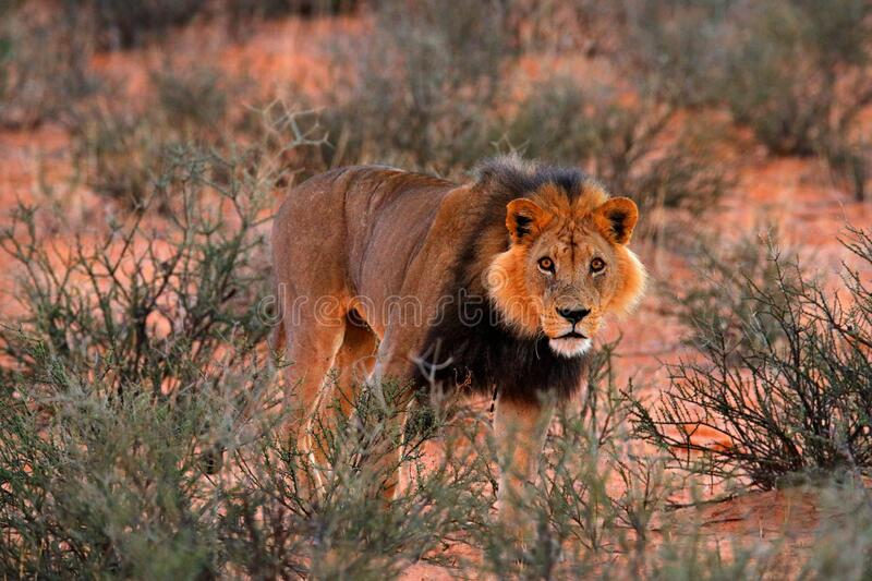 Kgalagadi lion in dark morning, Botswana. Lion with black mane, big animal in the habitat. Face portrait of African dangerous cat stock photography