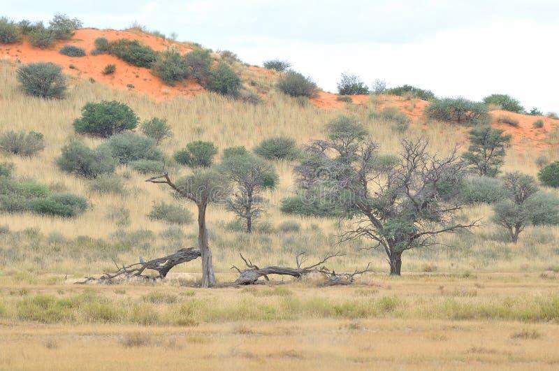 Kgalagadi tree and dune landscape royalty free stock photos